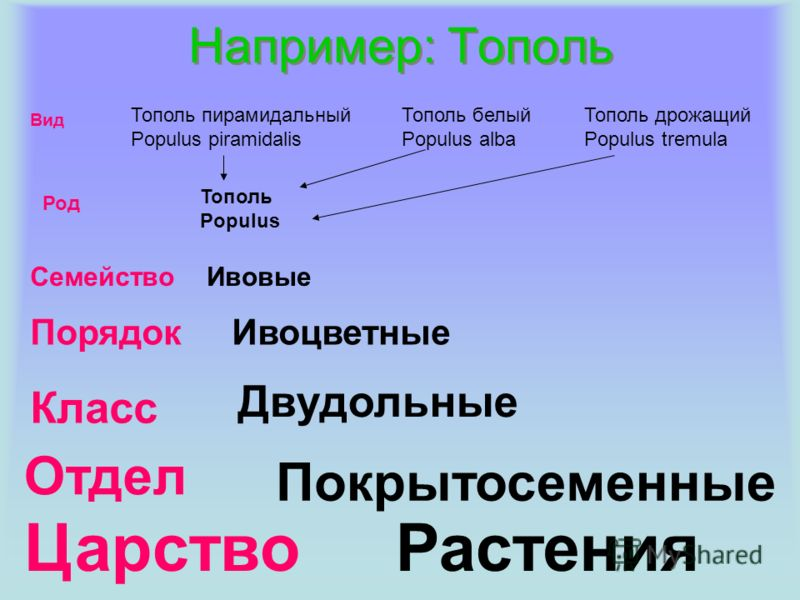 Например: Тополь Тополь пирамидальный Populus piramidalis Тополь белый Populus alba Тополь дрожащий Populus tremula Тополь Populus Вид Род Семейство Порядок Класс Отдел Царство Ивовые Ивоцветные Покрытосеменные Двудольные Растения