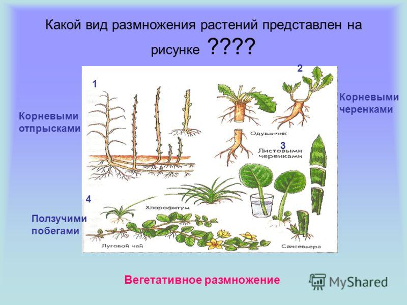 Какой вид размножения растений представлен на рисунке ???? Корневыми отпрысками 1 2 Корневыми черенками 3 4 Ползучими побегами Вегетативное размножение
