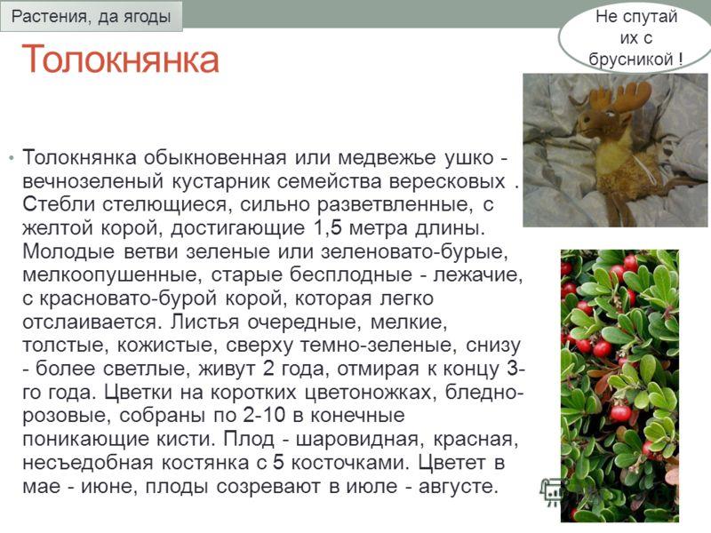 Толокнянка Толокнянка обыкновенная или медвежье ушко - вечнозеленый кустарник семейства вересковых. Стебли стелющиеся, сильно разветвленные, с желтой корой, достигающие 1,5 метра длины. Молодые ветви зеленые или зеленовато-бурые, мелкоопушенные, стар