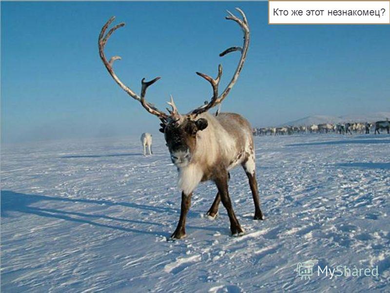 Северные олени У северного оленя вытянутое приземистое тело (длина 180-220 см, высота в холке 100-140 см). На шее короткая, не всегда заметная грива, морда удлиненная. Окраска летом бурая, зимой серая, более светлая у тундровых оленей. Грива зимой бе