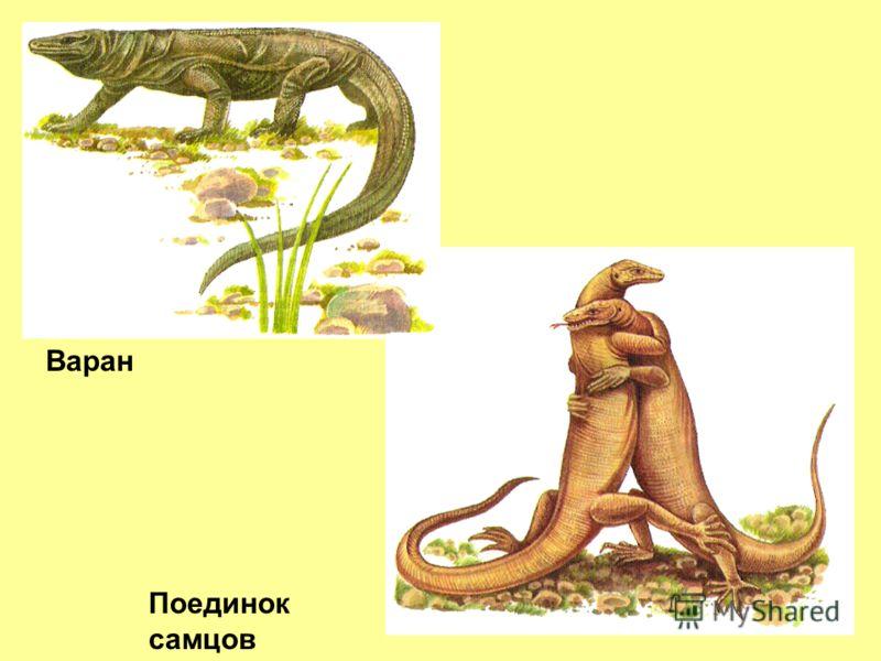 Поединок самцов Варан