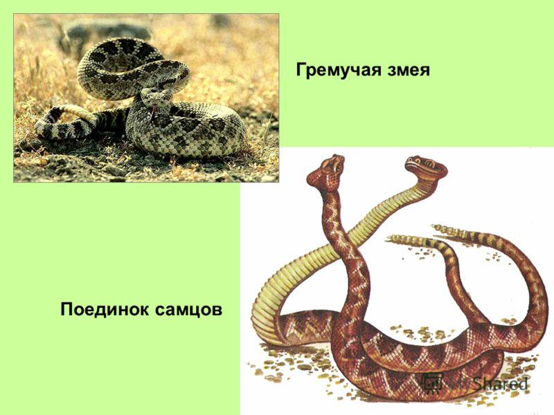 Гремучая змея Поединок самцов