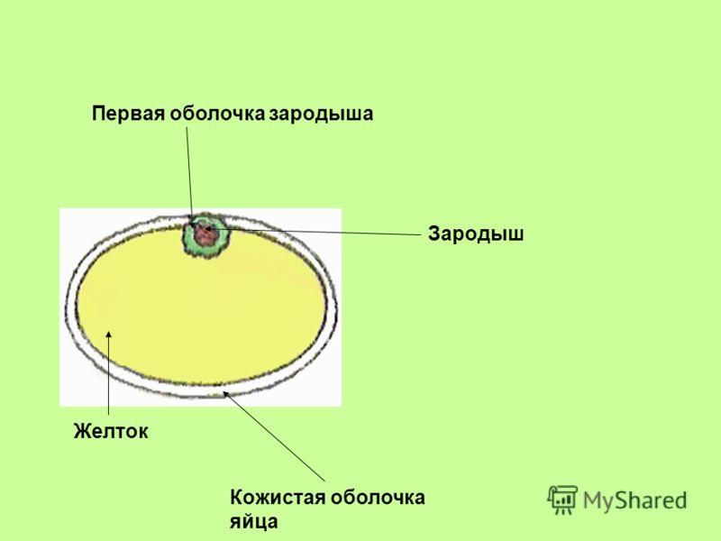 Первая оболочка зародыша Желток Зародыш Кожистая оболочка яйца