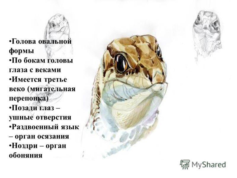 Голова овальной формы По бокам головы глаза с веками Имеется третье веко (мигательная перепонка) Позади глаз – ушные отверстия Раздвоенный язык – орган осязания Ноздри – орган обоняния