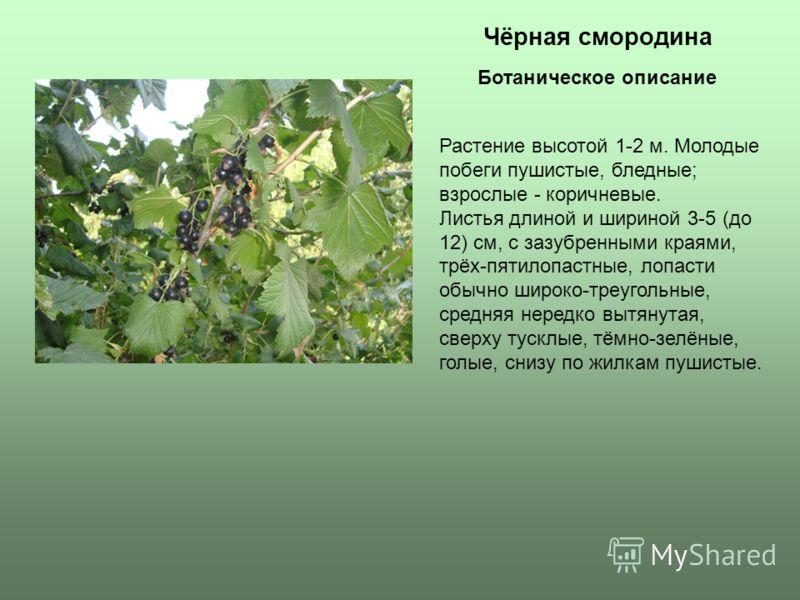 Чёрная смородина Растение высотой 1-2 м. Молодые побеги пушистые, бледные; взрослые - коричневые. Листья длиной и шириной 3-5 (до 12) см, с зазубренными краями, трёх-пятилопастные, лопасти обычно широко-треугольные, средняя нередко вытянутая, сверху