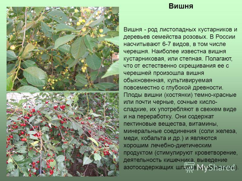Вишня Вишня - род листопадных кустарников и деревьев семейства розовых. В России насчитывают 6-7 видов, в том числе черешня. Наиболее известна вишня кустарниковая, или степная. Полагают, что от естественно скрещивания ее с черешней произошла вишня об