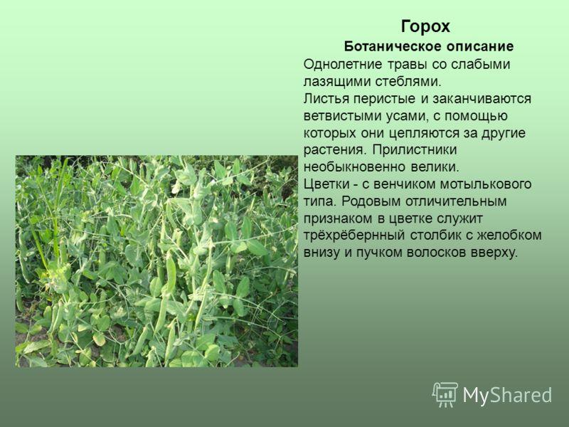 Горох Однолетние травы со слабыми лазящими стеблями. Листья перистые и заканчиваются ветвистыми усами, с помощью которых они цепляются за другие растения. Прилистники необыкновенно велики. Цветки - с венчиком мотылькового типа. Родовым отличительным