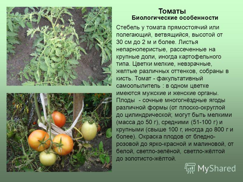 Томаты Стебель у томата прямостоячий или полегающий, ветвящийся, высотой от 30 см до 2 м и более. Листья непарноперистые, рассеченные на крупные доли, иногда картофельного типа. Цветки мелкие, невзрачные, желтые различных оттенков, собраны в кисть. Т