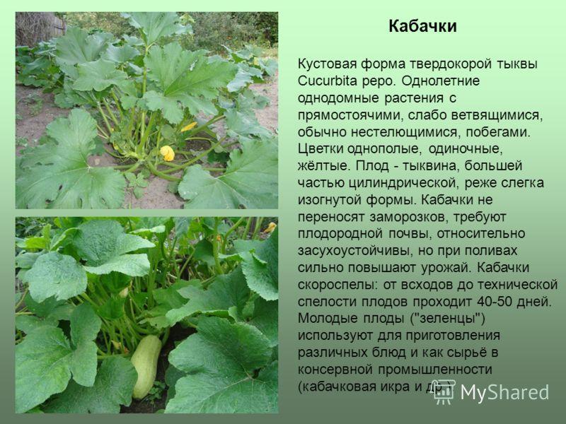 Кабачки Кустовая форма твердокорой тыквы Cucurbita pepo. Однолетние однодомные растения с прямостоячими, слабо ветвящимися, обычно нестелющимися, побегами. Цветки однополые, одиночные, жёлтые. Плод - тыквина, большей частью цилиндрической, реже слегк