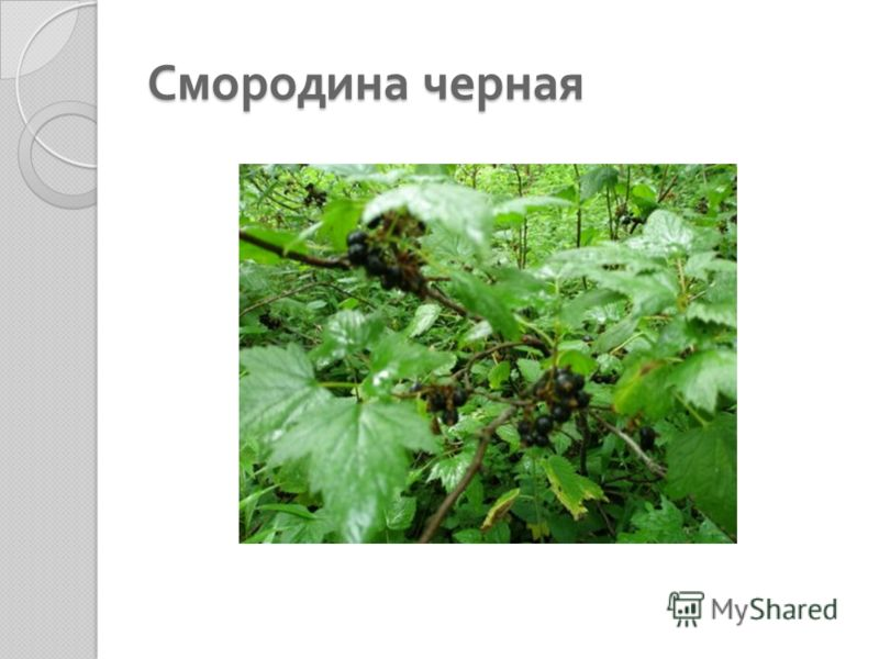 Смородина черная