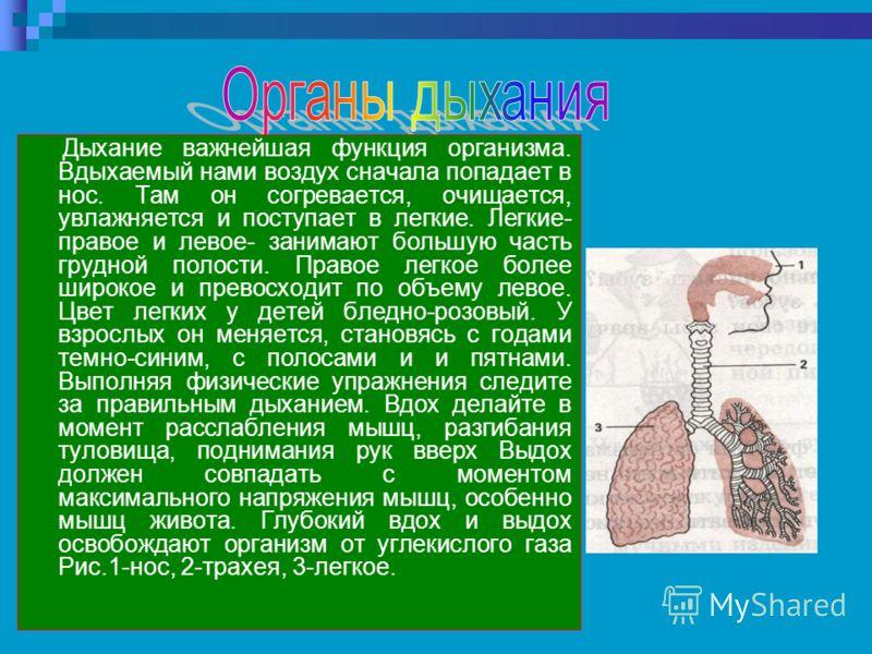 Дыхание важнейшая функция организма. Вдыхаемый нами воздух сначала попадает в нос. Там он согревается, очищается, увлажняется и поступает в легкие. Легкие- правое и левое- занимают большую часть грудной полости. Правое легкое более широкое и превосхо