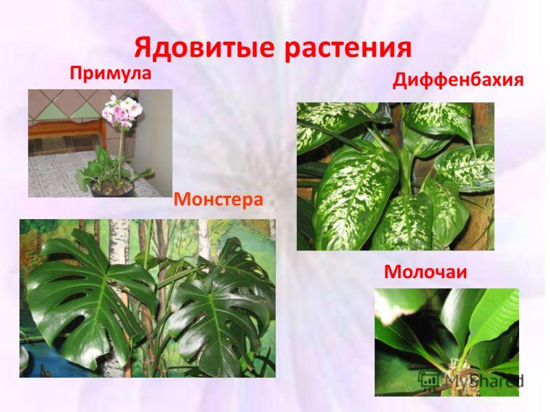 Хлорофитум Уход в домашних условиях фото видов