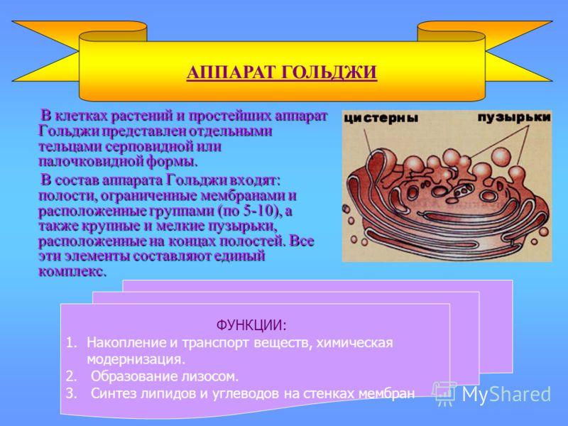 В клетках растений и простейших аппарат Гольджи представлен отдельными тельцами серповидной или палочковидной формы. В клетках растений и простейших аппарат Гольджи представлен отдельными тельцами серповидной или палочковидной формы. В состав аппарат