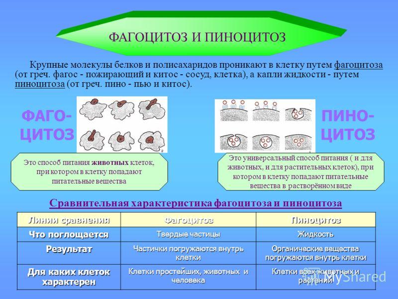 Сравнительная характеристика фагоцитоза и пиноцитоза ФАГОЦИТОЗ И ПИНОЦИТОЗ Крупные молекулы белков и полисахаридов проникают в клетку путем фагоцитоза (от греч. фагос - пожирающий и китос - сосуд, клетка), а капли жидкости - путем пиноцитоза (от греч