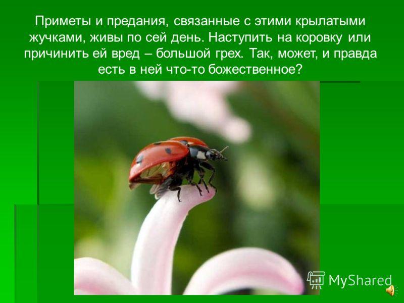 Единственный, кому не нравится то, что божья коровка поедает тлю – муравей. Тля выделяет сладкое молоко, которое так любят и собирают муравьи и ради получения которого пасут и расселяют повсюду своих коров – тлю.