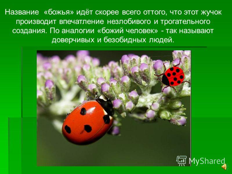 Все знают этого симпатичного красненького жучка с чёрными пятнышками или точками на крылышках. В России его издавна называют – божья коровка.