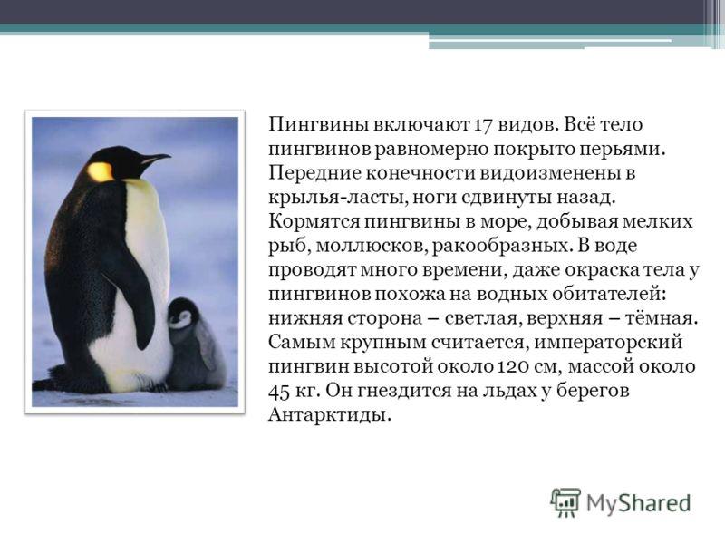 Пингвины включают 17 видов. Всё тело пингвинов равномерно покрыто перьями. Передние конечности видоизменены в крылья-ласты, ноги сдвинуты назад. Кормятся пингвины в море, добывая мелких рыб, моллюсков, ракообразных. В воде проводят много времени, даж