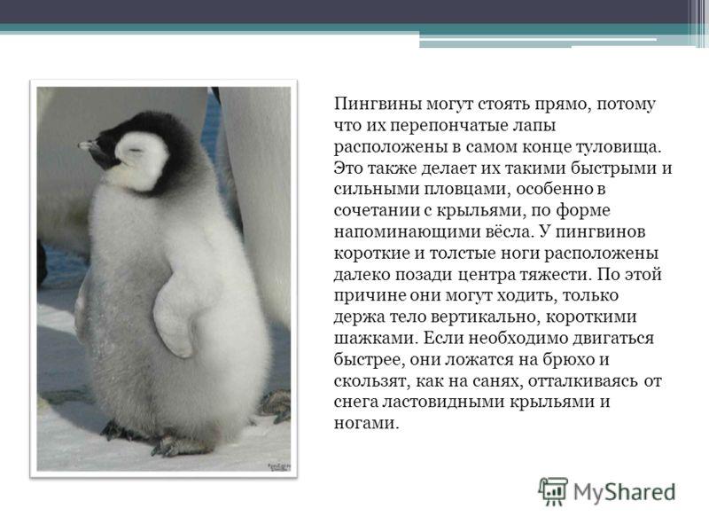Пингвины могут стоять прямо, потому что их перепончатые лапы расположены в самом конце туловища. Это также делает их такими быстрыми и сильными пловцами, особенно в сочетании с крыльями, по форме напоминающими вёсла. У пингвинов короткие и толстые но