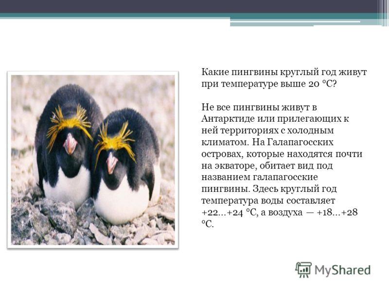 Какие пингвины круглый год живут при температуре выше 20 °C? Не все пингвины живут в Антарктиде или прилегающих к ней территориях с холодным климатом. На Галапагосских островах, которые находятся почти на экваторе, обитает вид под названием галапагос