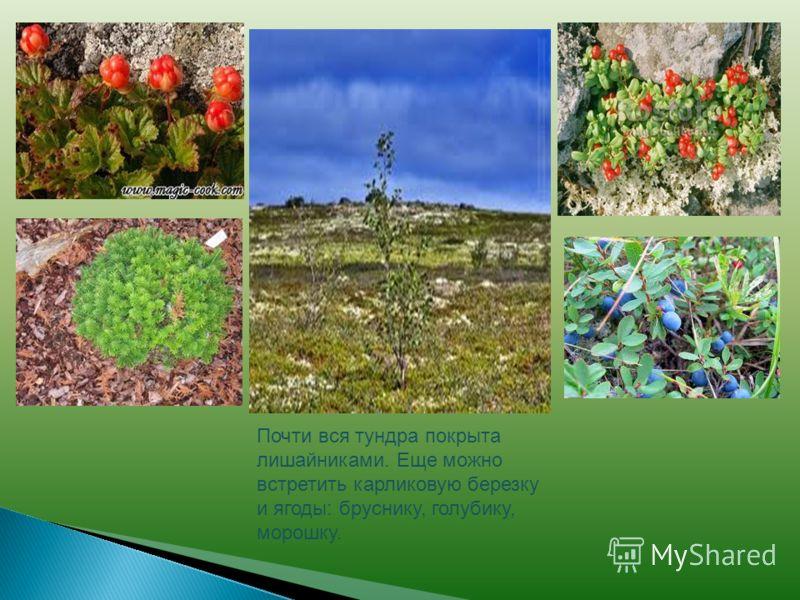 Почти вся тундра покрыта лишайниками. Еще можно встретить карликовую березку и ягоды: бруснику, голубику, морошку.