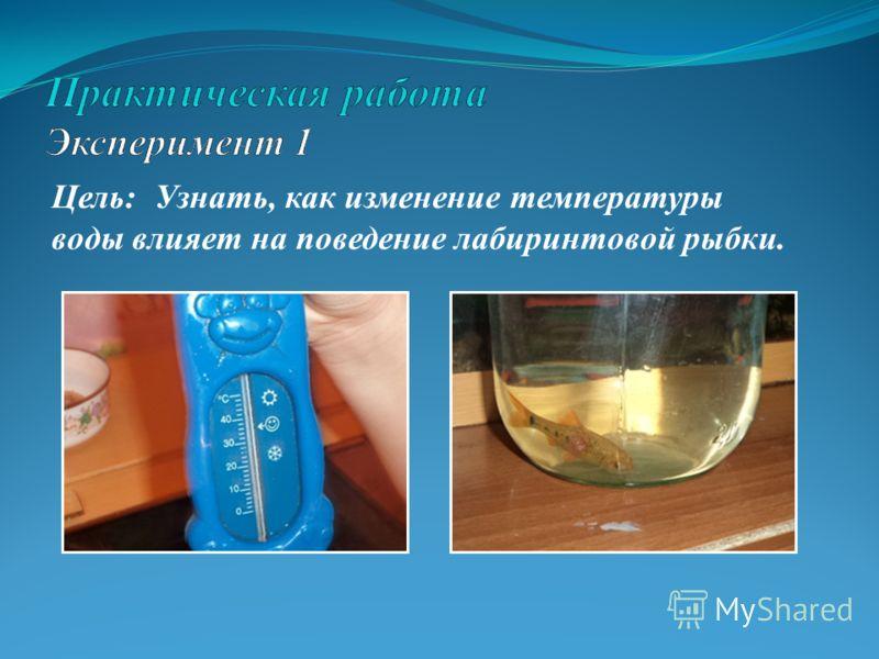 Цель: Узнать, как изменение температуры воды влияет на поведение лабиринтовой рыбки.