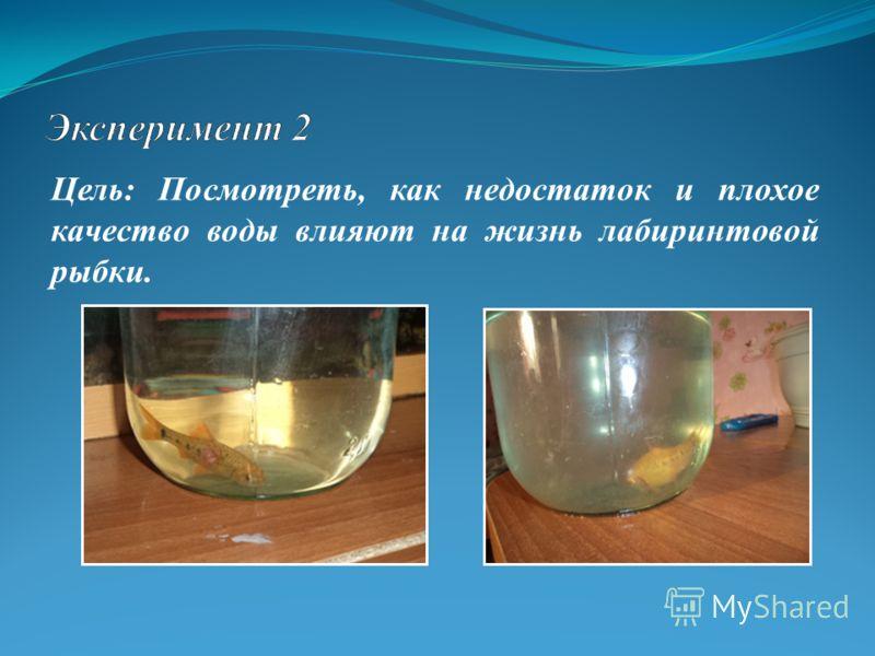 Цель: Посмотреть, как недостаток и плохое качество воды влияют на жизнь лабиринтовой рыбки.