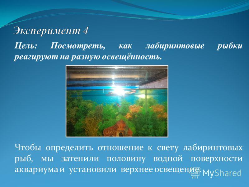 Цель: Посмотреть, как лабиринтовые рыбки реагируют на разную освещённость. Чтобы определить отношение к свету лабиринтовых рыб, мы затенили половину водной поверхности аквариума и установили верхнее освещение.