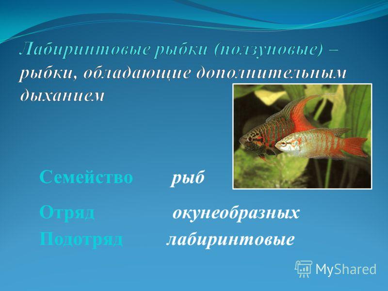 Семейство рыб Отряд окунеобразных Подотряд лабиринтовые