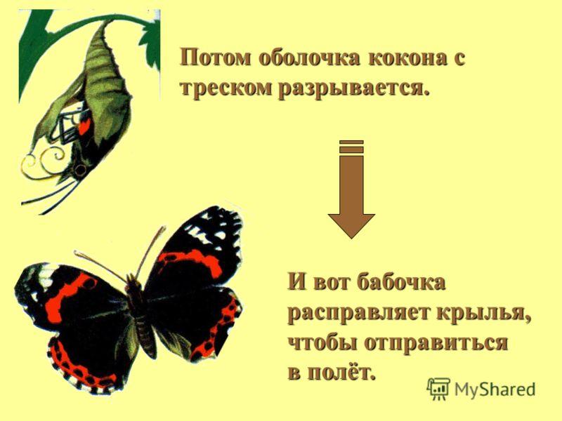 И вот бабочка расправляет крылья, чтобы отправиться в полёт. Потом оболочка кокона с треском разрывается.