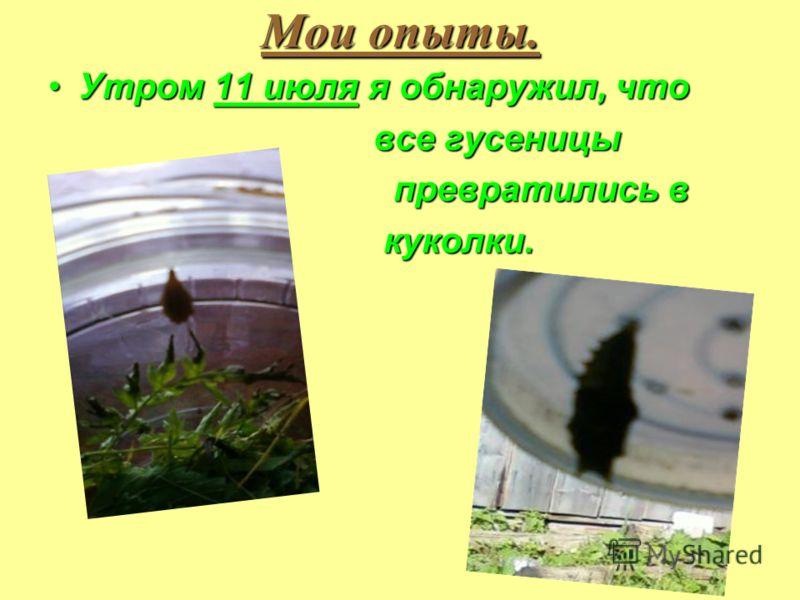 Утром 11 июля я обнаружил, чтоУтром 11 июля я обнаружил, что все гусеницы все гусеницы превратились в превратились в куколки. куколки.