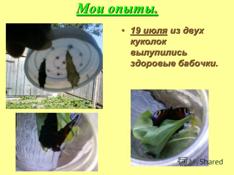 Мои опыты. 19 июля из двух куколок вылупились здоровые бабочки.19 июля из двух куколок вылупились здоровые бабочки.