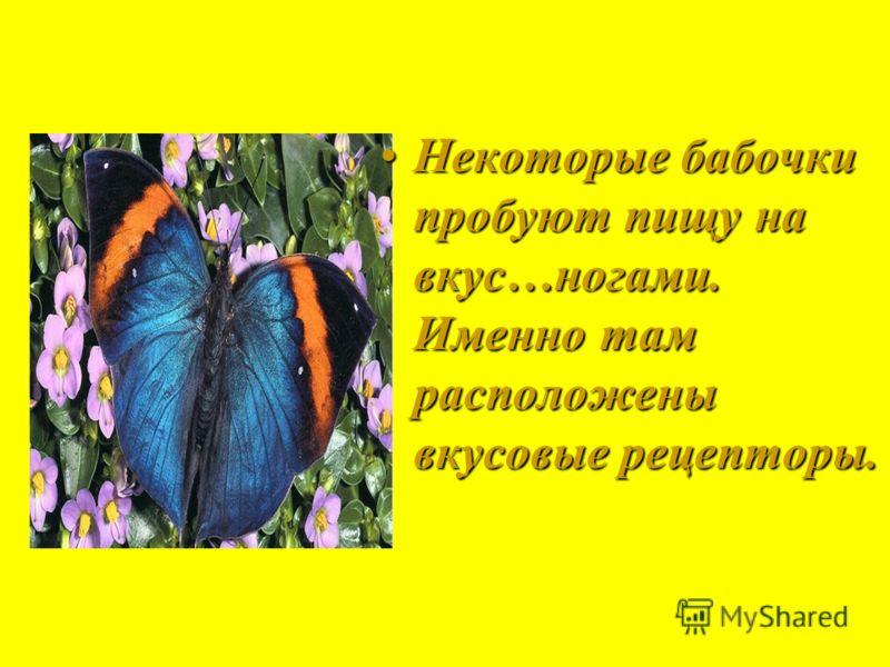 Некоторые бабочки пробуют пищу на вкус…ногами. Именно там расположены вкусовые рецепторы.Некоторые бабочки пробуют пищу на вкус…ногами. Именно там расположены вкусовые рецепторы.