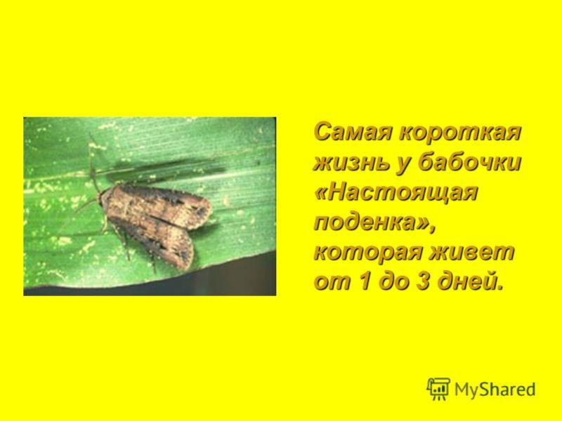 Самая короткая жизнь у бабочки «Настоящая поденка», которая живет от 1 до 3 дней. Самая короткая жизнь у бабочки «Настоящая поденка», которая живет от 1 до 3 дней.