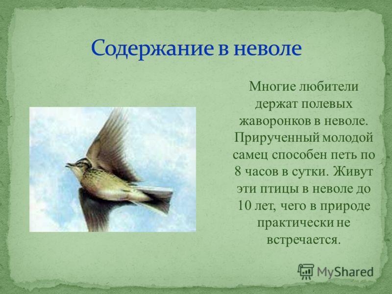 Многие любители держат полевых жаворонков в неволе. Прирученный молодой самец способен петь по 8 часов в сутки. Живут эти птицы в неволе до 10 лет, чего в природе практически не встречается.