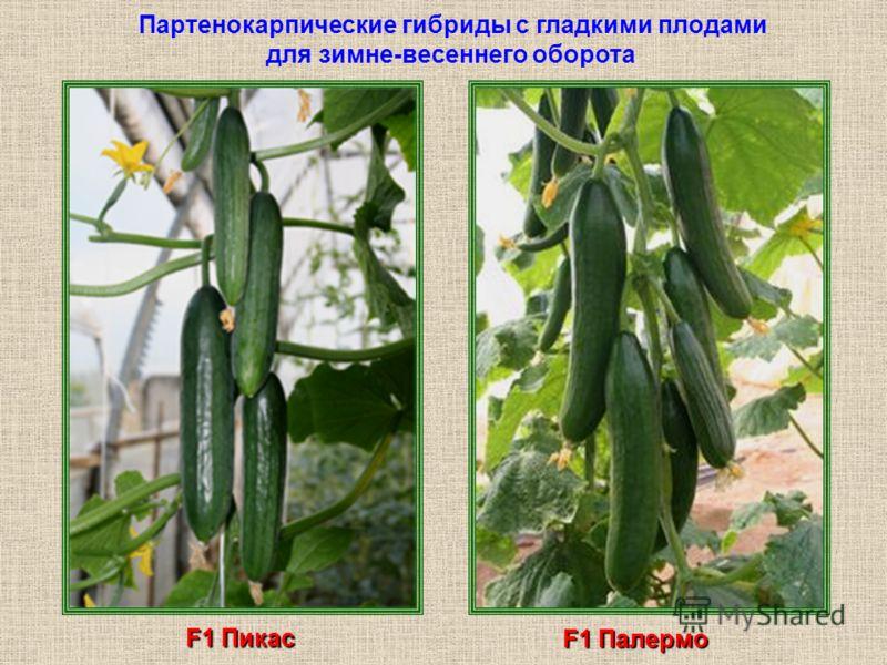 Партенокарпические гибриды с гладкими плодами для зимне-весеннего оборота F1 Пикас F1 Палермо