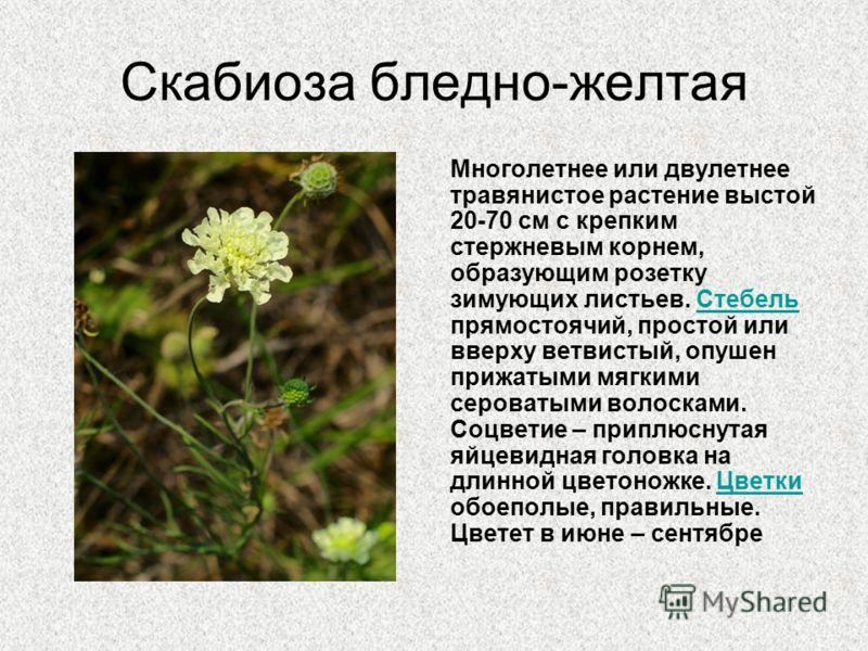 Скабиоза бледно-желтая Многолетнее или двулетнее травянистое растение выстой 20-70 см с крепким стержневым корнем, образующим розетку зимующих листьев. Стебель прямостоячий, простой или вверху ветвистый, опушен прижатыми мягкими сероватыми волосками.