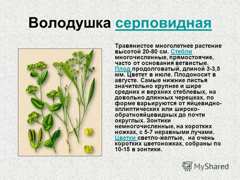 Володушка серповидная Травянистое многолетнее растение высотой 20-80 см. Стебли многочисленные, прямостоячие, часто от основания ветвистые. Плод продолговатый, длиной 3-3,5 мм. Цветет в июле. Плодоносит в августе. Самые нижние листья значительно круп