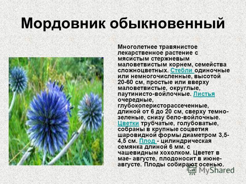 Мордовник обыкновенный Многолетнее травянистое лекарственное растение с мясистым стержневым маловетвистым корнем, семейства сложноцветных. Стебли одиночные или немногочисленные, высотой 20-60 см, простые или вверху маловетвистые, округлые, паутинисто