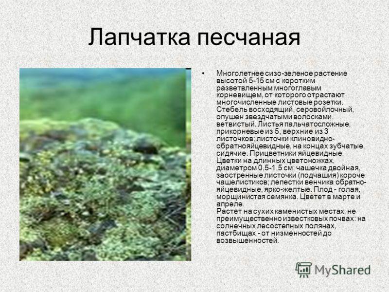 Лапчатка песчаная Многолетнее сизо-зеленое растение высотой 5-15 см с коротким разветвленным многоглавым корневищем, от которого отрастают многочисленные листовые розетки. Стебель восходящий, серовойлочный, опушен звездчатыми волосками, ветвистый. Ли
