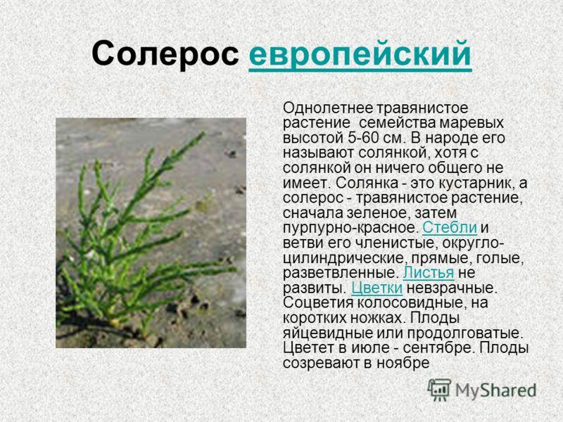 Солерос европейский Однолетнее травянистое растение семейства маревых высотой 5-60 см. В народе его называют солянкой, хотя с солянкой он ничего общего не имеет. Солянка - это кустарник, а солерос - травянистое растение, сначала зеленое, затем пурпур