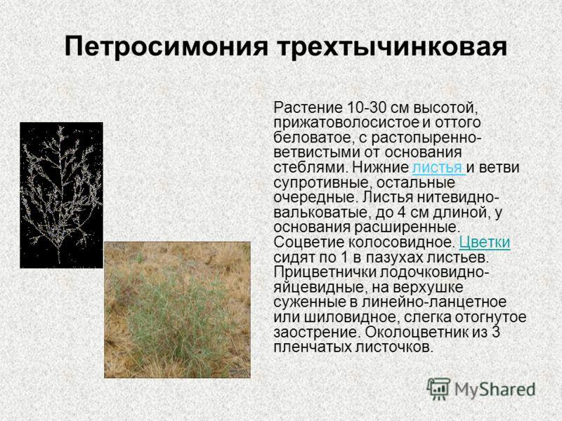 Петросимония трехтычинковая Растение 10-30 см высотой, прижатоволосистое и оттого беловатое, с растопыренно- ветвистыми от основания стеблями. Нижние листья и ветви супротивные, остальные очередные. Листья нитевидно- вальковатые, до 4 см длиной, у ос