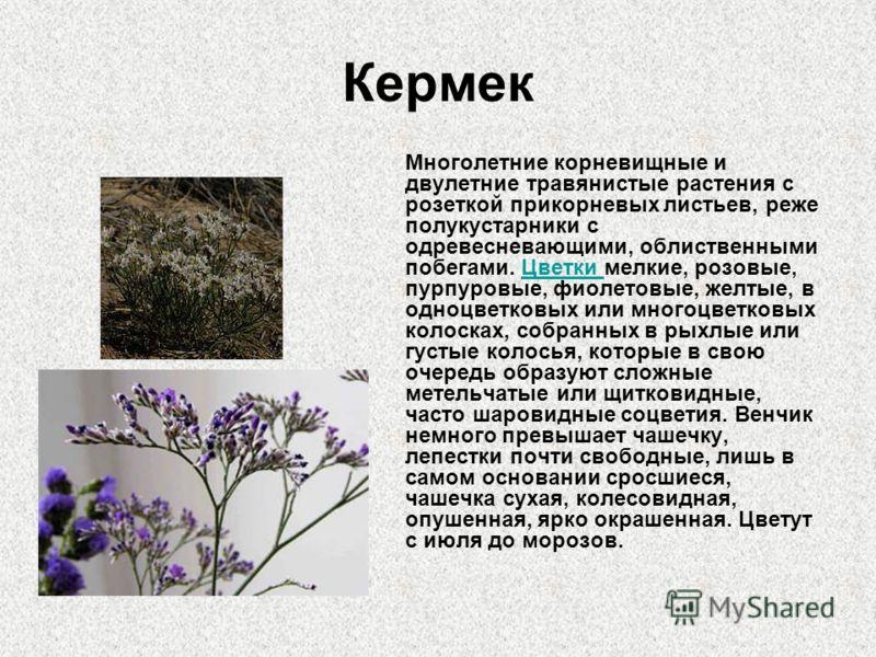 Кермек Многолетние корневищные и двулетние травянистые растения с розеткой прикорневых листьев, реже полукустарники с одревесневающими, облиственными побегами. Цветки мелкие, розовые, пурпуровые, фиолетовые, желтые, в одноцветковых или многоцветковых