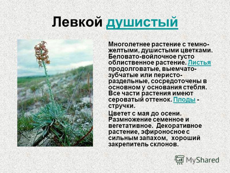 Левкой душистый Многолетнее растение с темно- желтыми, душистыми цветками. Беловато-войлочное густо облиственное растение. Листья продолговатые, выемчато- зубчатые или перисто- раздельные, сосредоточены в основном у основания стебля. Все части растен