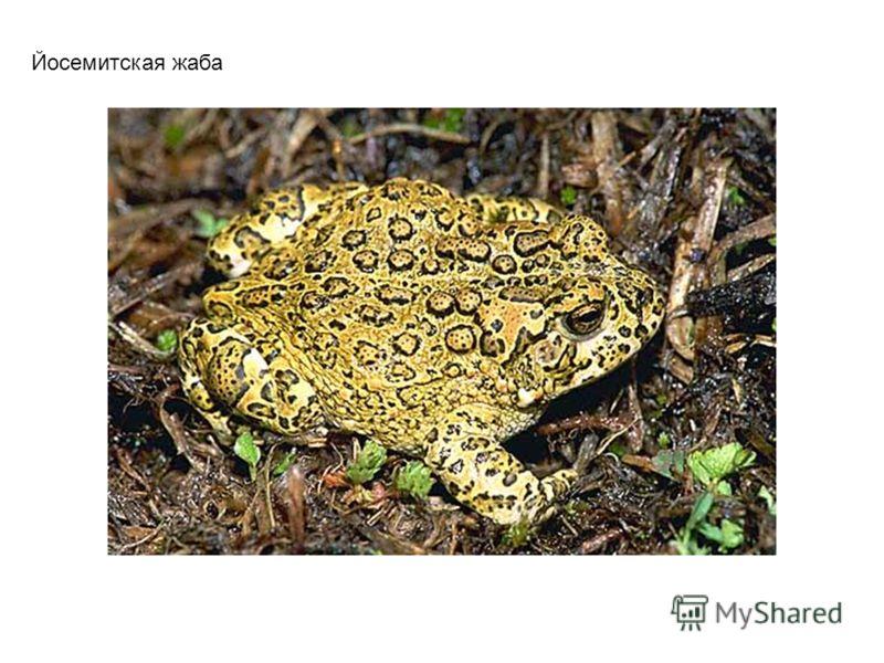 Fowler's Toad (жаба Фоулера)