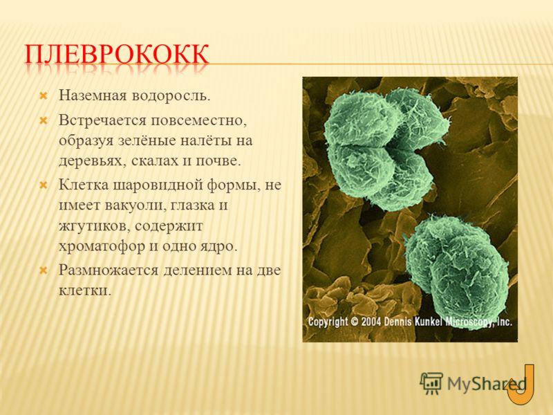 Наземная водоросль. Встречается повсеместно, образуя зелёные налёты на деревьях, скалах и почве. Клетка шаровидной формы, не имеет вакуоли, глазка и жгутиков, содержит хроматофор и одно ядро. Размножается делением на две клетки.