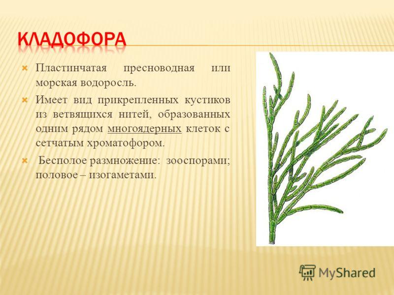 Пластинчатая пресноводная или морская водоросль. Имеет вид прикрепленных кустиков из ветвящихся нитей, образованных одним рядом многоядерных клеток с сетчатым хроматофором. Бесполое размножение: зооспорами; половое – изогаметами.