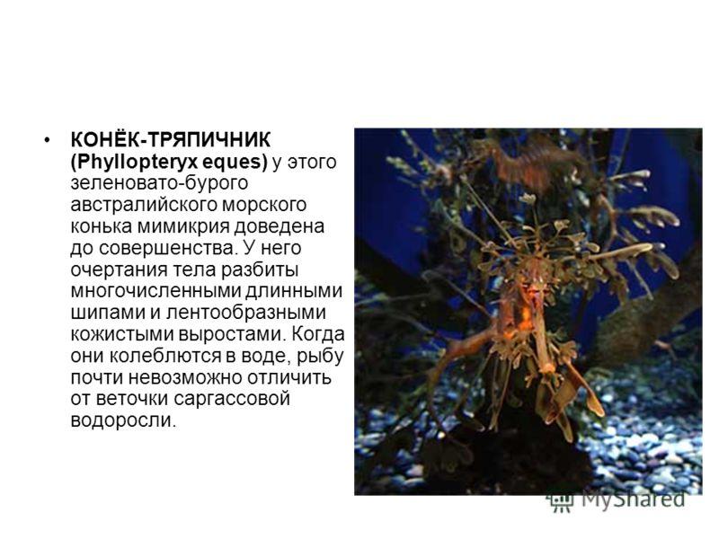 КОНЁК-ТРЯПИЧНИК (Phyllopteryx eques) у этого зеленовато-бурого австралийского морского конька мимикрия доведена до совершенства. У него очертания тела разбиты многочисленными длинными шипами и лентообразными кожистыми выростами. Когда они колеблются