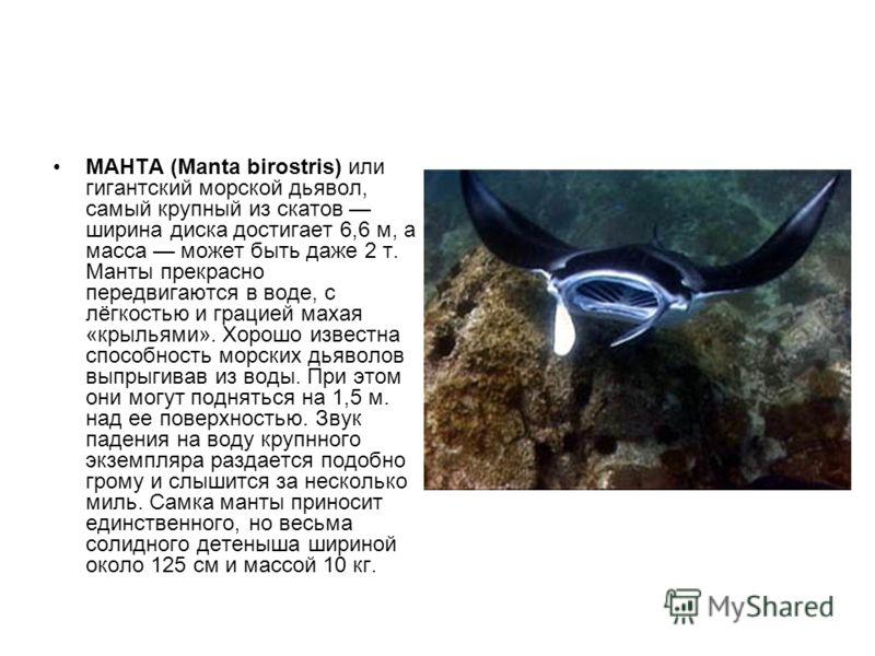 МАНТА (Manta birostris) или гигантский морской дьявол, самый крупный из скатов ширина диска достигает 6,6 м, а масса может быть даже 2 т. Манты прекрасно передвигаются в воде, с лёгкостью и грацией махая «крыльями». Хорошо известна способность морски