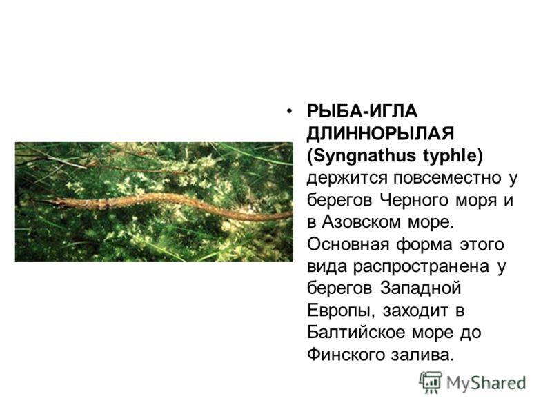 РЫБА-ИГЛА ДЛИННОРЫЛАЯ (Syngnathus typhle) держится повсеместно у берегов Черного моря и в Азовском море. Основная форма этого вида распространена у берегов Западной Европы, заходит в Балтийское море до Финского залива.