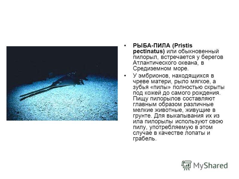 РЫБА-ПИЛА (Pristis pectinatus) или обыкновенный пилорыл, встречается у берегов Атлантического океана, в Средиземном море. У эмбрионов, находящихся в чреве матери, рыло мягкое, а зубья «пилы» полностью скрыты под кожей до самого рождения. Пищу пилорыл